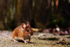 Control Rodents And Make Your Home Rodent-Free